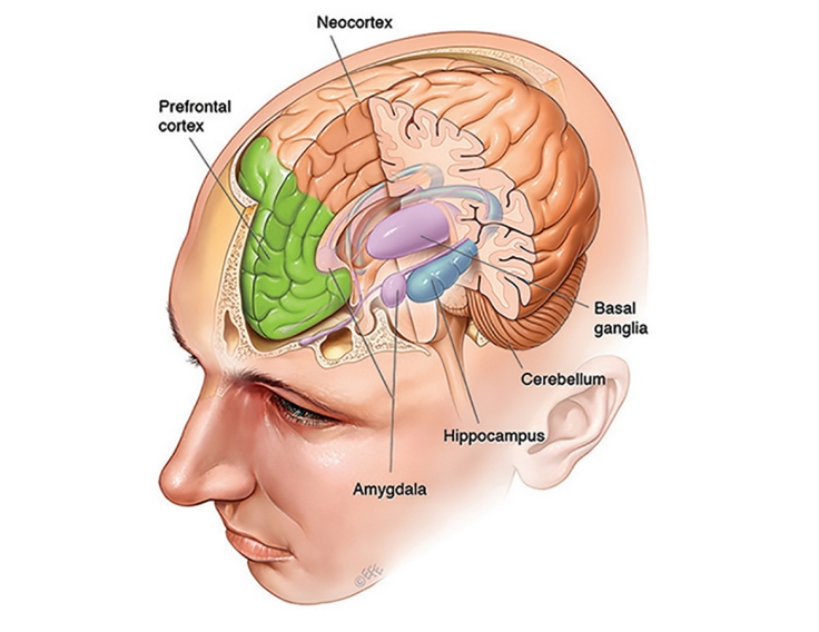 Brain, skull and meninges
