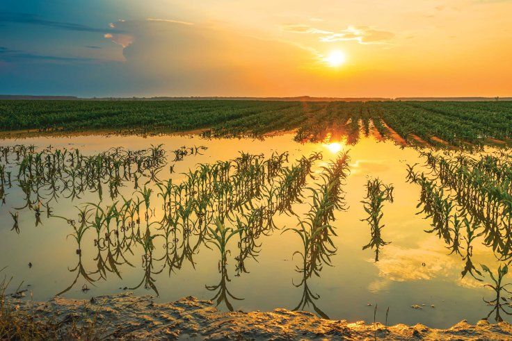 Flooded young corn field plantation with damaged crops
