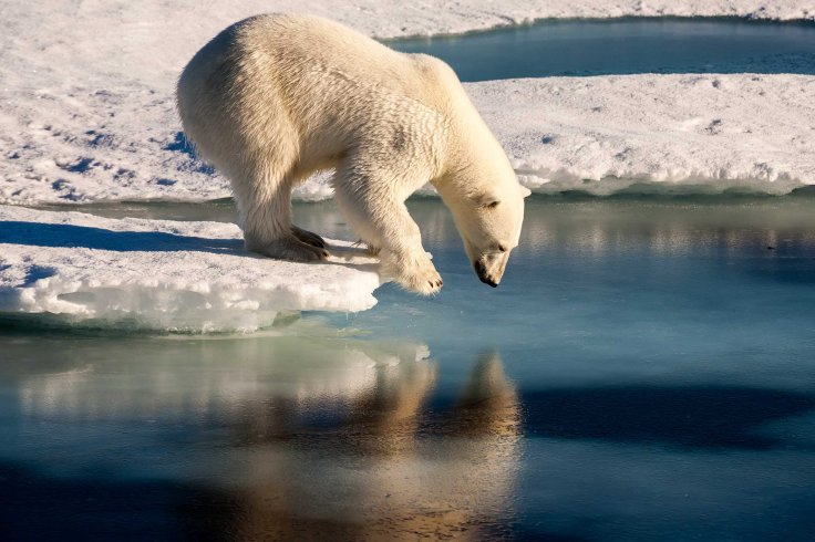 Polar bear admiring his mirror image in the sea